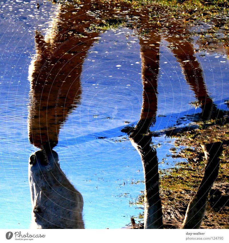 Blue Water Animal Meadow Lake Drinking Horse Mammal To feed Mirror image Mold Hoof Recitative Horse's head Azure blue Fringe zone