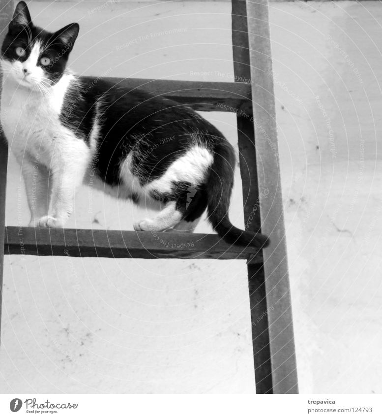 cat Cat Sweet Black White Animal Pelt Go up Break Domestic cat Patch Fear Ladder Climbing Wait