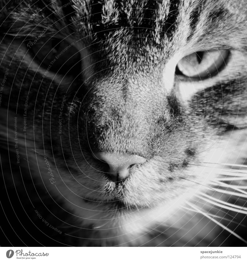 She's a cat Cat Domestic cat Animal Pet Whisker Animal portrait Looking Appearance Pelt Stripe Mammal Black & white photo Cat eyes Observe