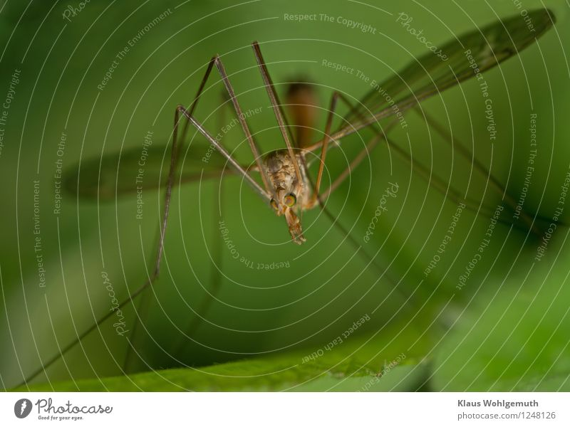 Am I harmless? Environment Nature Animal Summer Foliage plant Garden Park Meadow Field Forest Fly Wing Crane fly 1 Sit Creepy Brown Yellow Green Colour photo