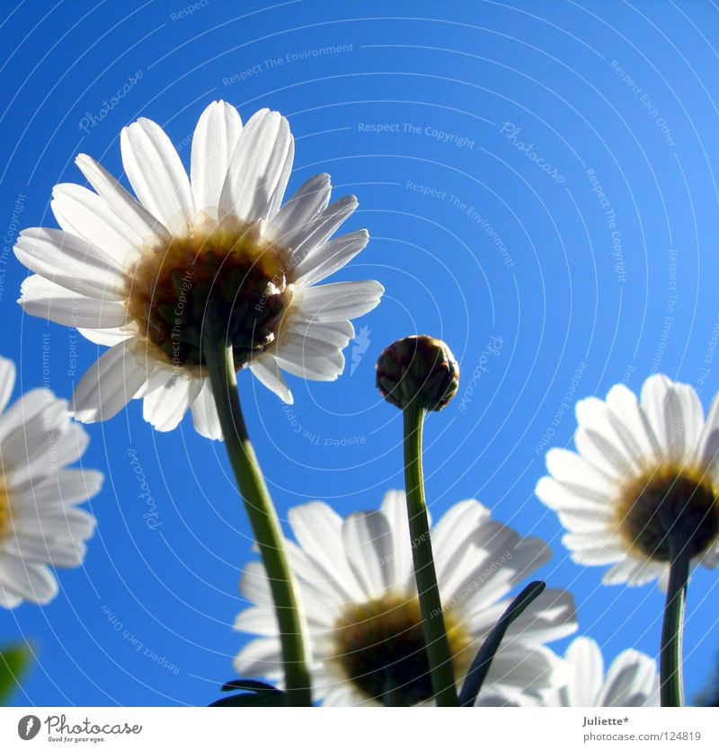 Beautiful Sky White Flower Green Blue Summer Blossom Harvest Bud Marguerite