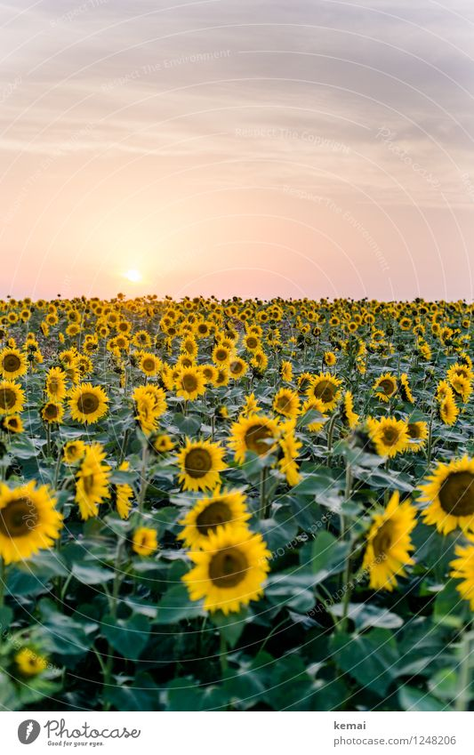 sea of flowers Far-off places Freedom Environment Nature Plant Sky Clouds Sun Sunlight Summer Beautiful weather Warmth Flower Agricultural crop Sunflower