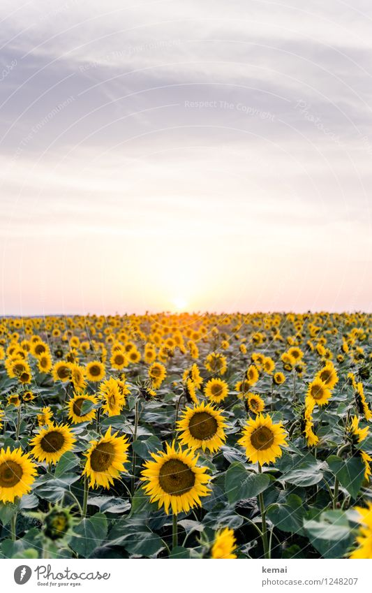 Sundown in the sunflower field Environment Nature Landscape Plant Sky Clouds Sunrise Sunset Sunlight Summer Beautiful weather Warmth Flower Leaf Blossom