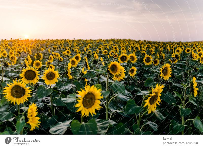 We are family Environment Nature Landscape Plant Sky Clouds Sun Sunrise Sunset Sunlight Summer Beautiful weather Flower Agricultural crop Sunflower