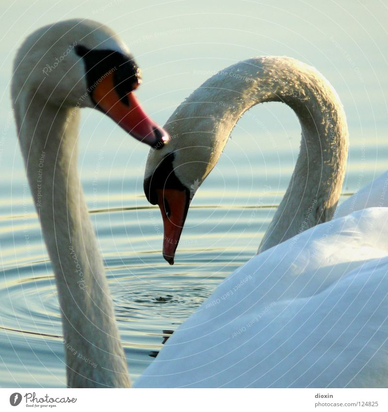Water Beautiful Love Happy Lake Friendship Waves Bird Together Heart Pair of animals Swimming & Bathing Esthetic In pairs Wing Romance