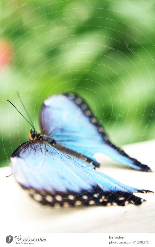 Make blue Nature Plant Animal Spring Summer Garden Park Meadow Wild animal Butterfly Wing blue Morphof age 1 Observe Relaxation Exceptional Elegant Exotic