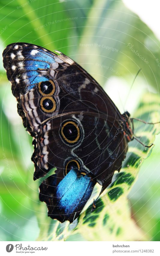 beautiful imperfection Leaf Butterfly Wing blue Morphof age Flying Sit Wait Esthetic Beautiful Natural Blue Green Wound Feeler Relaxation Pattern Disfigurement