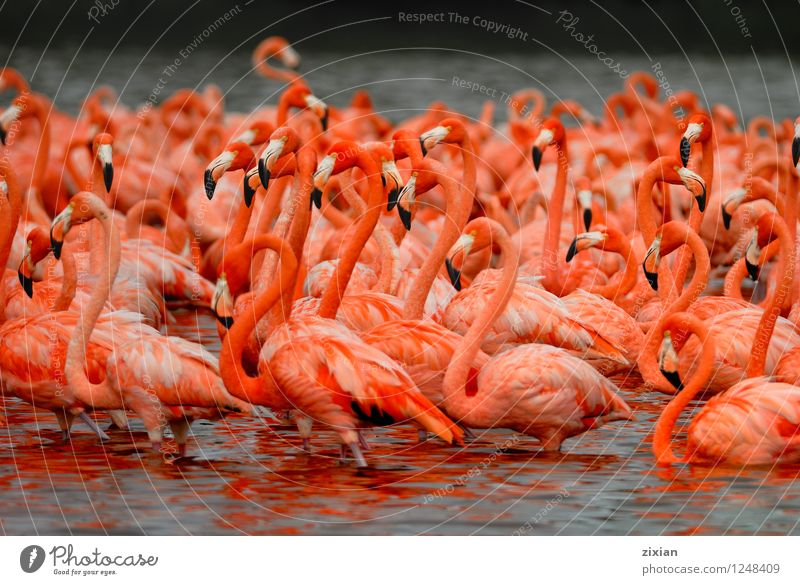 greater flamingos Beautiful Water Red Animal Black Natural Bird Pink Wild animal Group of animals Discover Dive Know Herd Flamingo