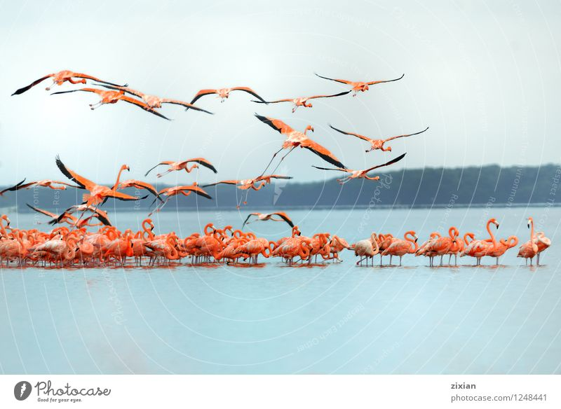 greater flamingos Colour Animal Wild animal Group of animals Teamwork Flock Herd Flamingo