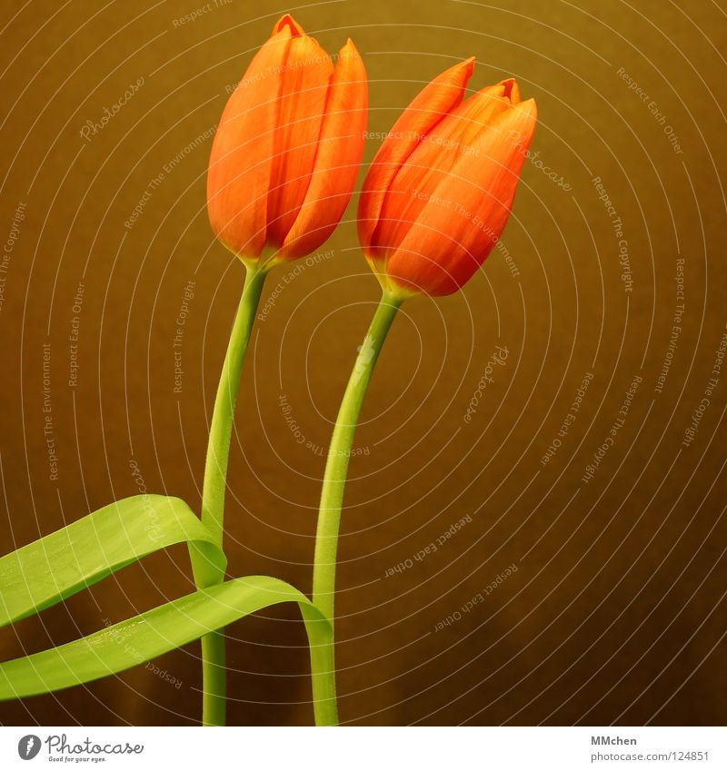 Flower Green Joy Blossom Spring Brown 2 Orange In pairs Stalk Tulip Synchronous Duet