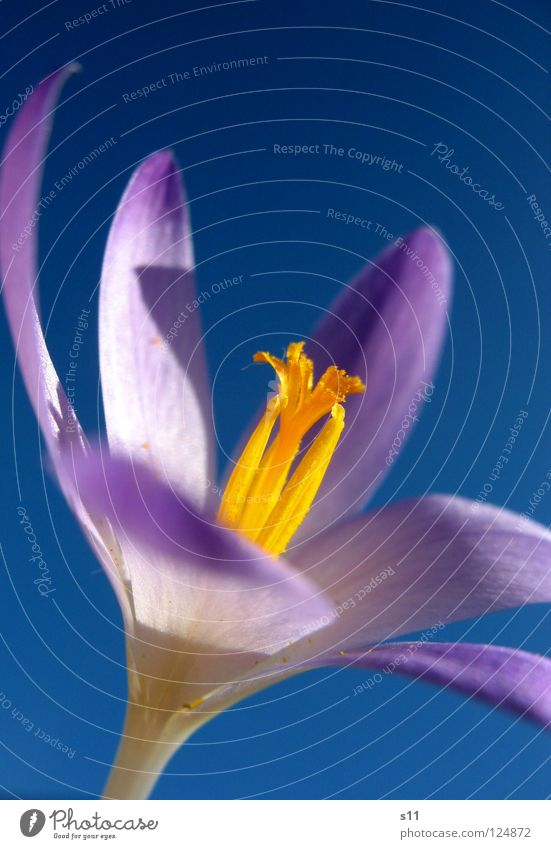 Crocus In the sky Nature Plant Sky Spring Beautiful weather Flower Blossom Illuminate Blue Violet Blossom leave Sky blue Force Pistil Orange herald of spring