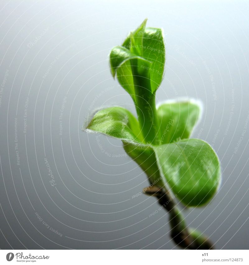 Nature Plant Green Leaf Life Spring Small Fresh Power Branch Force New Bud Shoot Unshaven Bright green
