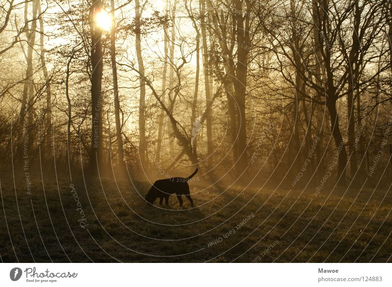 Dog in the morning mist Forest Fog Labrador Tree Back-light Shadow play Morning Meadow Tails Fishing rod Black Peace Sun Branch walk