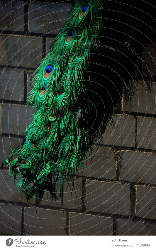 Green Blue Animal Wall (barrier) Bird Glittering Feather Turquoise Reunification Glimmer Peacock Boa Peacock feather