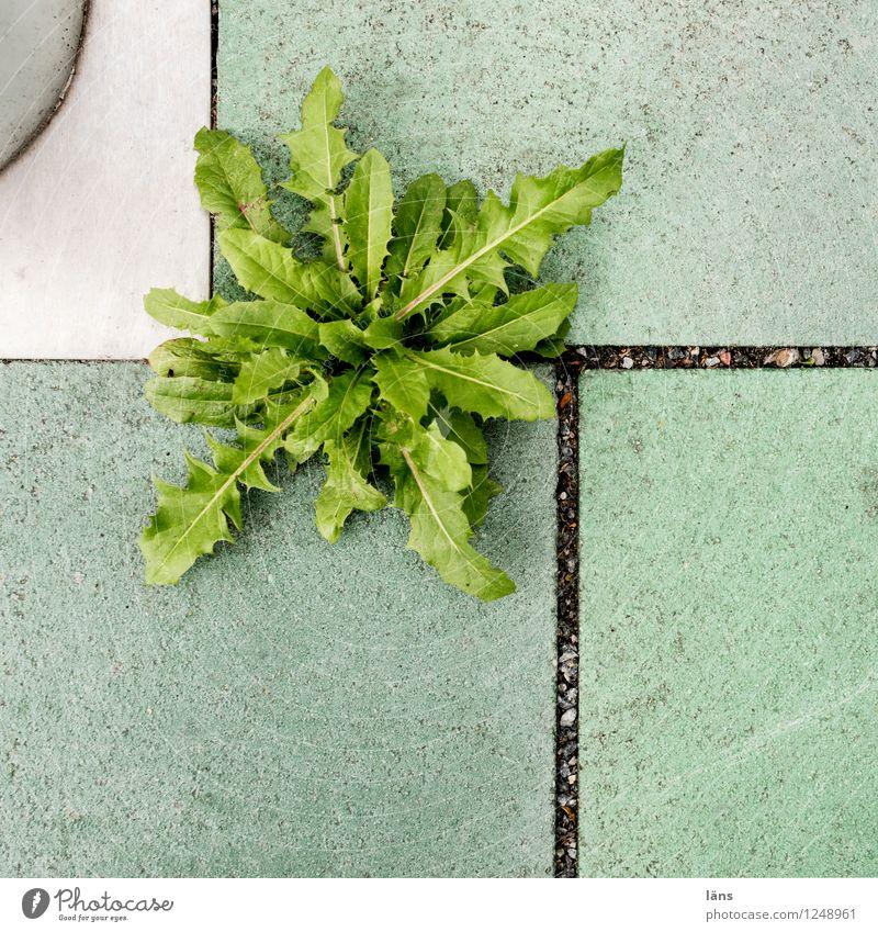City Plant Green Growth Beginning Hope Dandelion Paving tiles