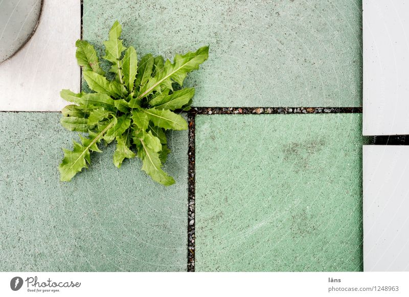 Go back to lot Environment Plant Wild plant Dandelion City hall Terrace Sharp-edged Beginning Effort Growth Tile Assertiveness Cramped Colour photo
