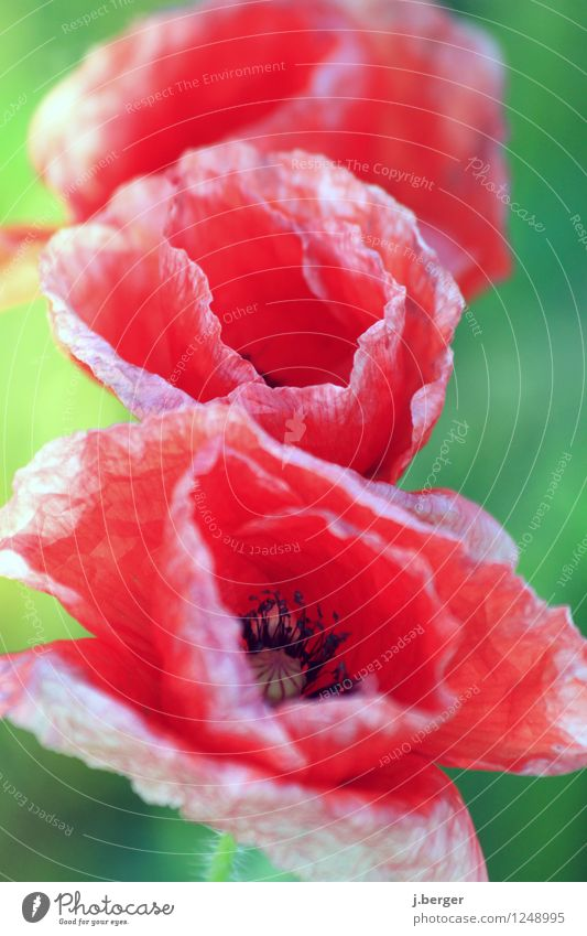 poppy day Nature Plant Flower Leaf Blossom Green Red Poppy Poppy blossom Macro (Extreme close-up) Still Life Colour photo Multicoloured Exterior shot Close-up