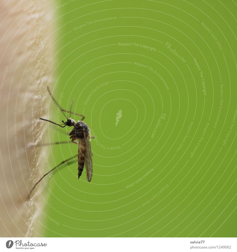 nuisance Environment Nature Animal Summer Wild animal Insect Mosquitos Plague of mosquitos 1 To feed Sit Threat Fresh Small Delicious Thin Point Thorny Green