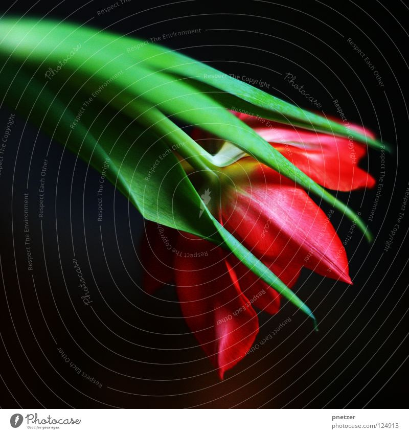 Tulip! Flower Blossom Stalk Green Red Pink Macro (Extreme close-up) Symbols and metaphors Spring Summer Joy Nature