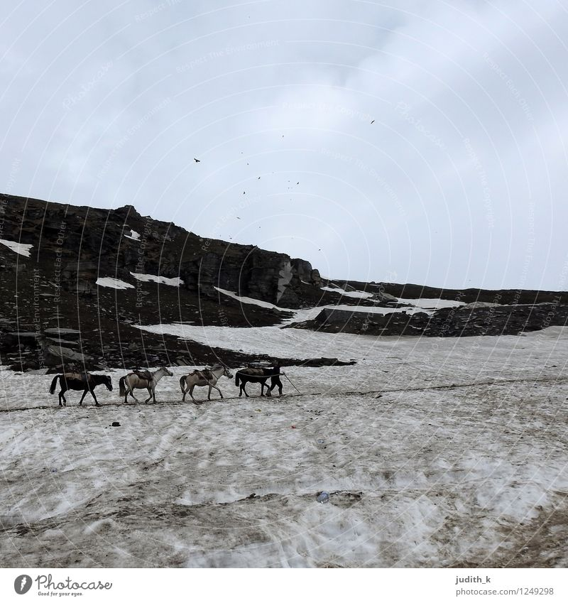 4 horses in the snow Nature Winter Snow Mountain Himalayas Horse Animal Group of animals Freeze Going Hiking Cold Willpower Brave Endurance Adventure Effort
