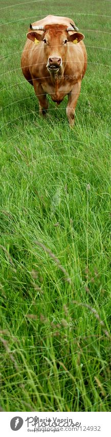 Animal Meadow Grass Field Agriculture Pasture Cow Antlers Cattle Country life Livestock Dairy Products Dairy cow Moo Milk production