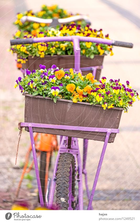 Bicycle with flower box Beautiful Decoration Flower Old Friendliness Romance Nostalgia Window box Pansy Still Life colored sunny Multicoloured Contrast