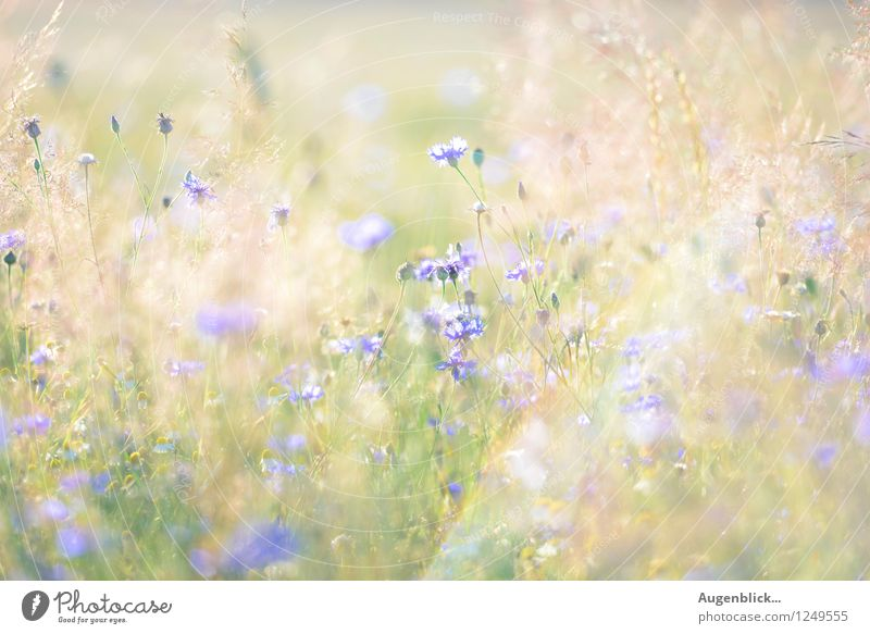 beautiful 30 August... Nature Summer Warmth Flower Grass Meadow Field Breathe Blossoming To enjoy Fresh Glittering Juicy Blue Yellow Gold Green Beautiful Dream