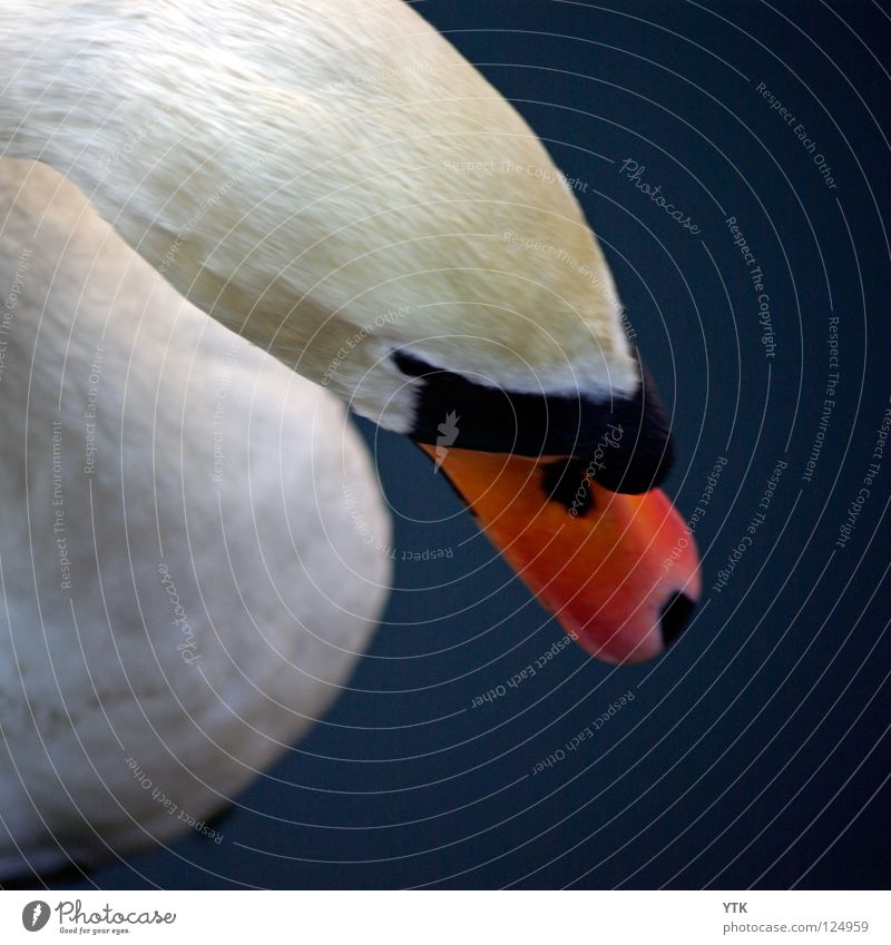 Cygnini Animal Bird Swan Blue Orange White Feather Head Beak Pond Swimming Wet Graceful Dangerous Bite Structures and shapes Metal coil Downy feather Zoo