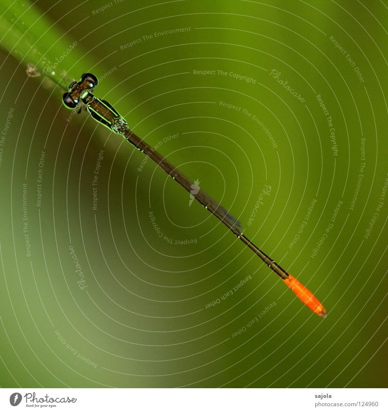line in the landscape Nature Animal Wild animal Small dragonfly Dragonfly Insect 1 Line Thin Green Bright green Compound eye Hind quarters Orange Colour photo