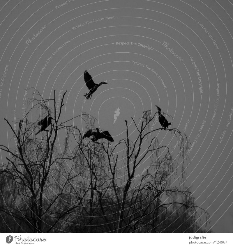 At the Silver Lake Bird Birch tree Tree Forest Fog Gloomy Gray Cormorant 3 Web-footed birds Pond Winter Black & white photo Sky Sit Vantage point Relaxation