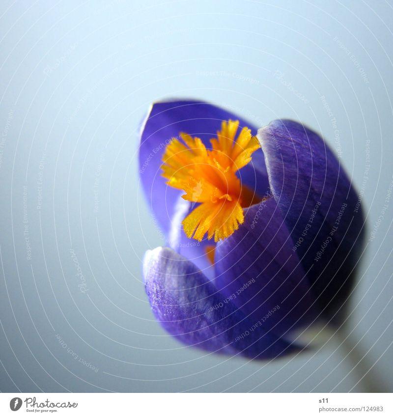 Nature Blue Plant Flower Spring Blossom Orange Force Illuminate Violet Pistil Blossom leave Crocus