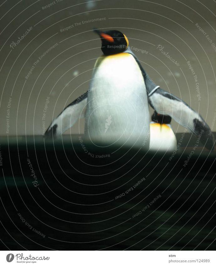... just wait soon ... Penguin King penguin Zoo Playing Animal Come Approach Inject Berlin zoo Joy Exhibition Antarctica Water Arm Water wings Nature