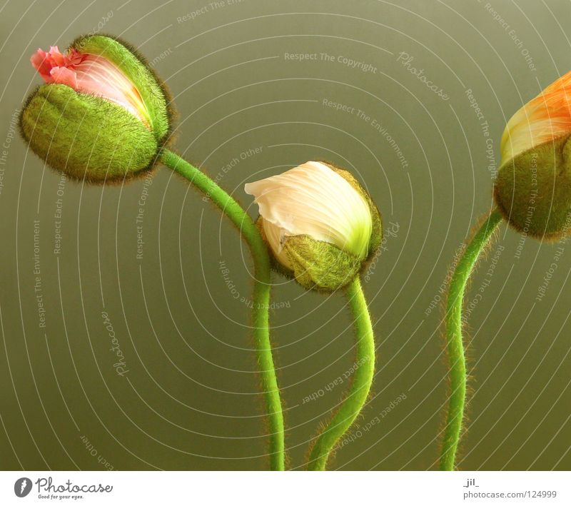 three poppies 2 Poppy Flower 3 Round Delicate Caresses Cuddling Pink Green Khaki Brown Beautiful Plant volumes Beginning Sphere apricot Orange