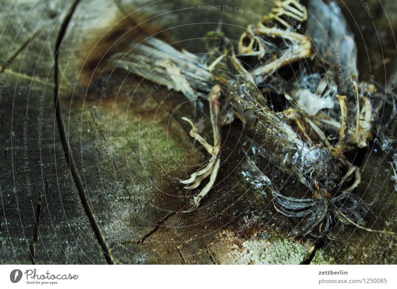 Dead bird Bird Sparrow Passerine bird Death Skeleton Sacrifice Sacrificial offering Life Cardiovascular system Wood Feather Claw Animal foot