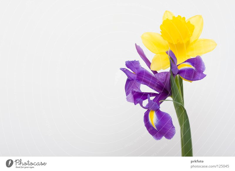 Flower Yellow Background picture Decoration Congratulations Mother's Day Narcissus Blue-white