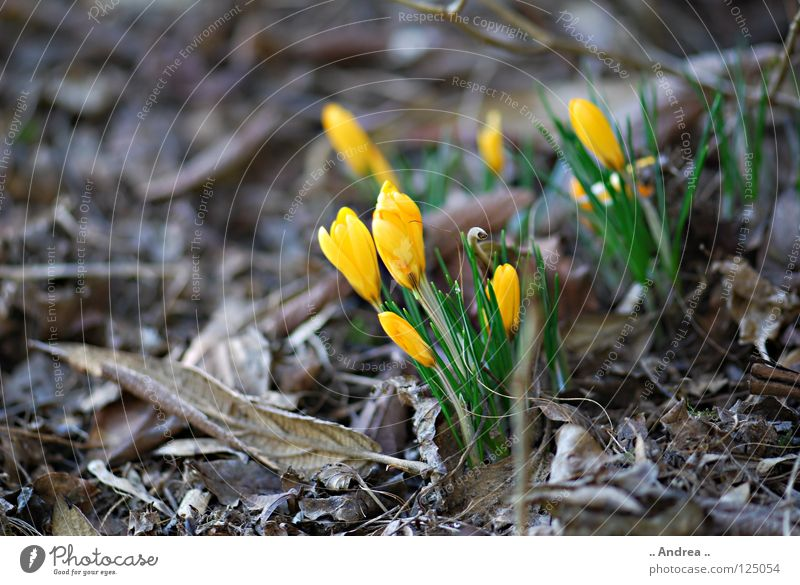 """Winter Farewell"" Joy Spring Flower Blossoming Thin Soft Yellow Violet Orange Joie de vivre (Vitality) Lust Mysterious Crocus Spring flowering plant"