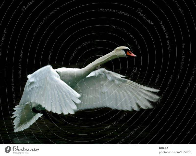 White swan in front of a dark background during landing approach Swan Poultry Long Soft Graceful Elegant Grand piano Black birds Body of water Lake