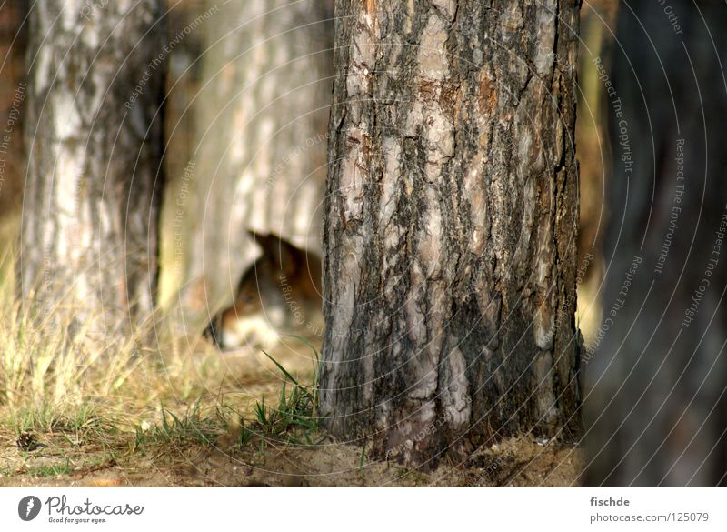Nature Tree Animal Forest Head Animal face Observe Wild animal Hunting Tree trunk Mammal Fairy tale Snout Tree bark Wolf Woodground