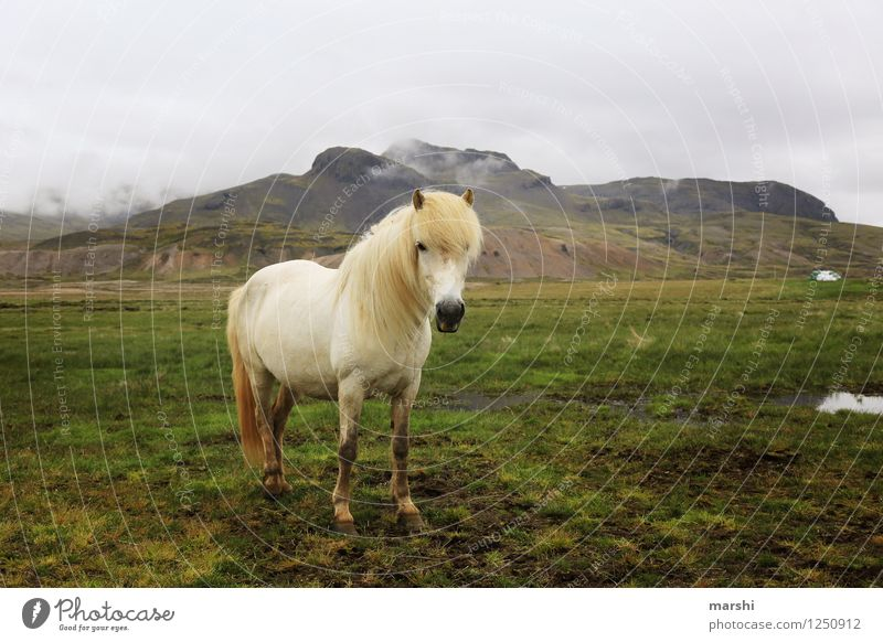 island horse Nature Landscape Plant Animal Hill Mountain Wild animal Horse 1 Moody Iceland Pony Far-off places White Stand Ride Equestrian sports Beautiful