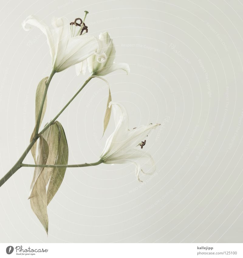 White Beautiful Plant Flower Death Growth Might Living thing Stalk Shabby Fragrance Odor Vertical Pistil Lily Embellish