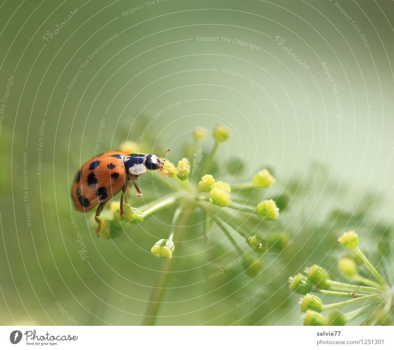 daintily Nature Plant Animal Summer Blossom Beetle Ladybird 1 Blossoming Fragrance To feed Crawl Small Natural Cute Contentment Happy Wellness Insect Back-light