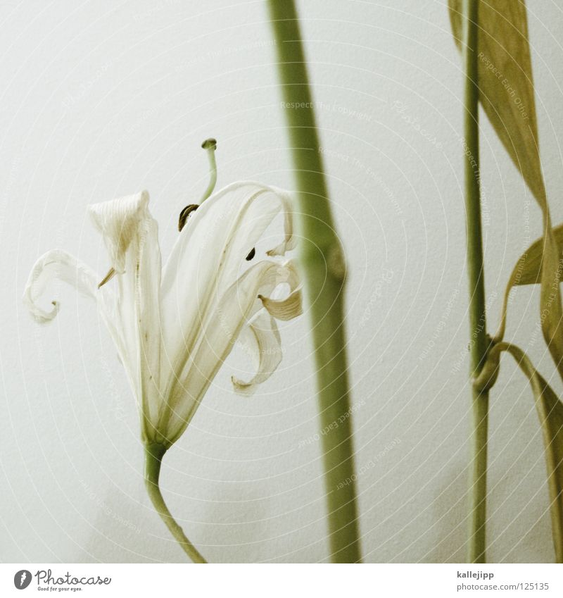 Plant Beautiful White Flower Death Growth Might Living thing Stalk Fragrance Odor Shabby Vertical Pistil Pollen Root