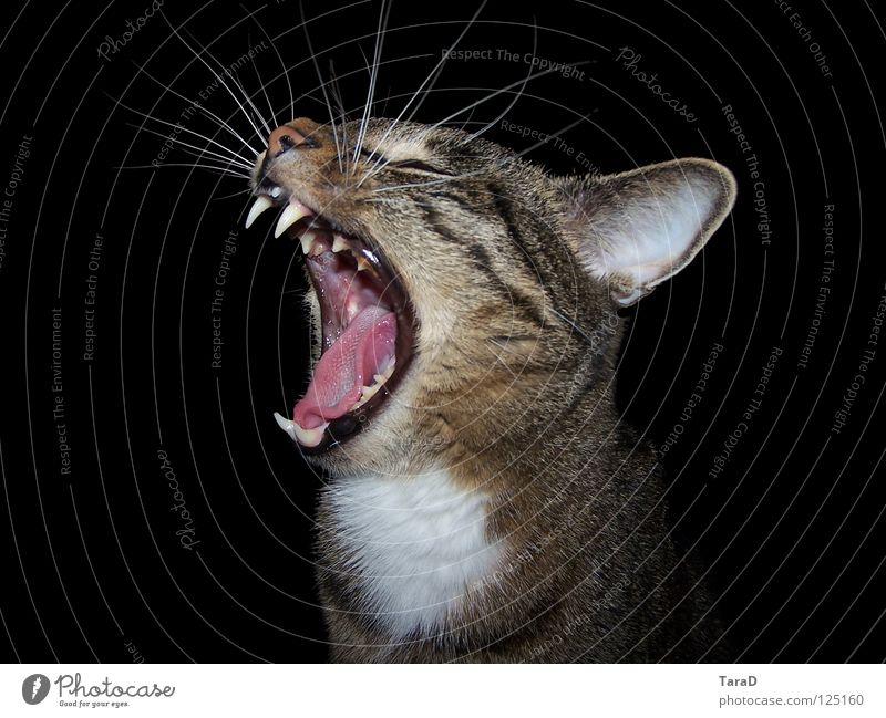 Animal Cat Domestic cat Yawn Land-based carnivore