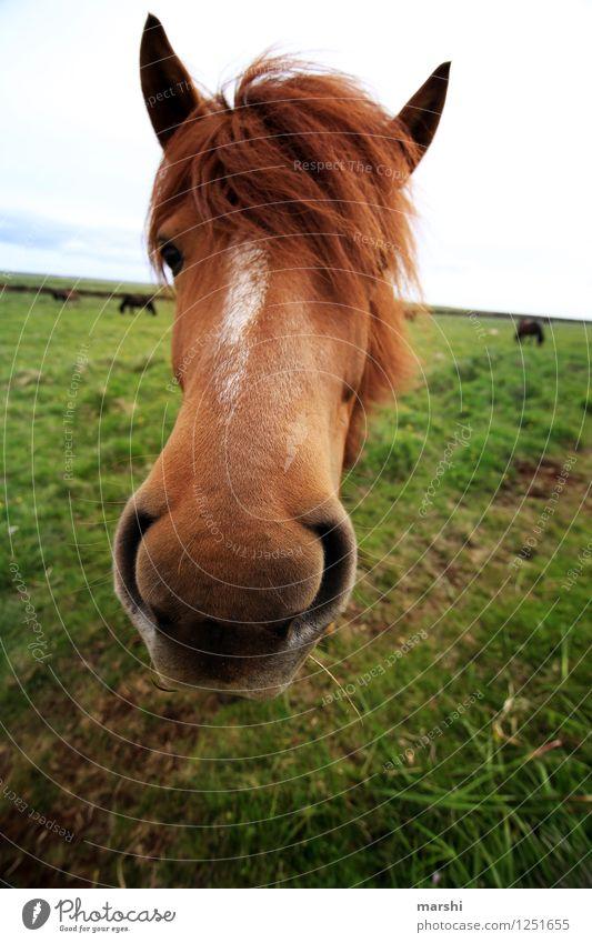 Nature Beautiful Landscape Animal Moody Field Wild animal Mouth Curiosity Horse Animalistic Animal face Iceland Bangs Mane Iceland Pony