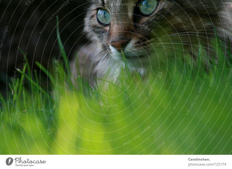 Nature Beautiful Green Summer Joy Animal Meadow Cat Bright Speed Mammal