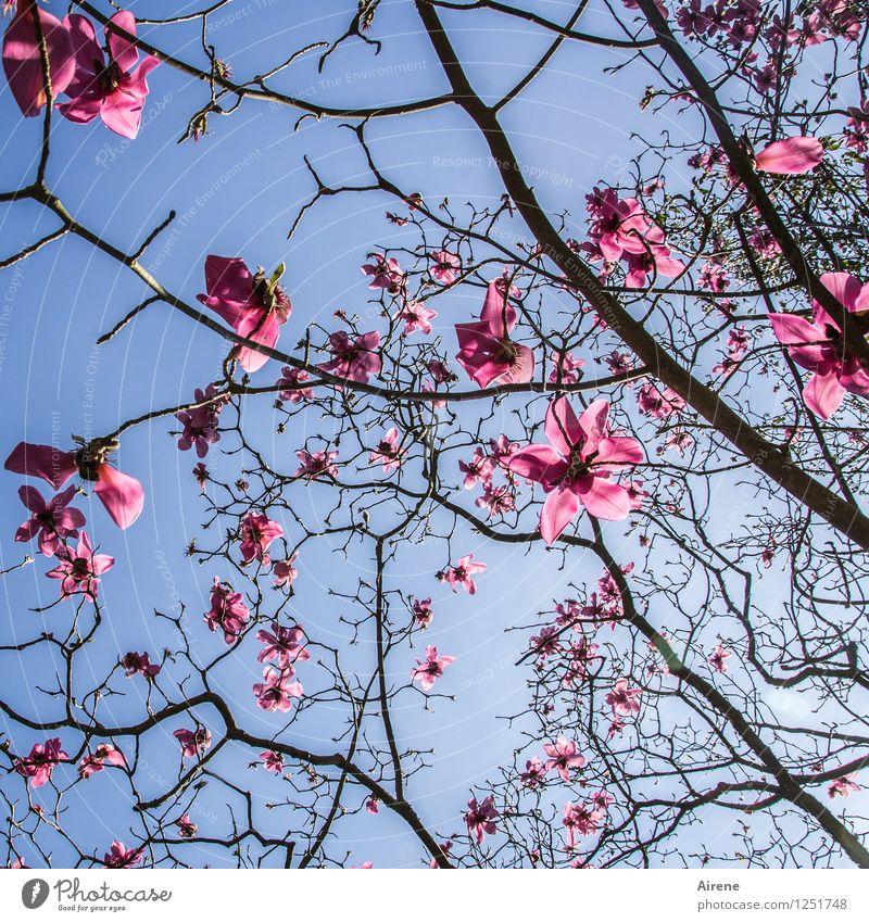 pink cloud Plant Sky Sky only Tree Flower Blossom Magnolia blossom Magnolia tree Glittering Blue Pink Black Colour photo Exterior shot Deserted