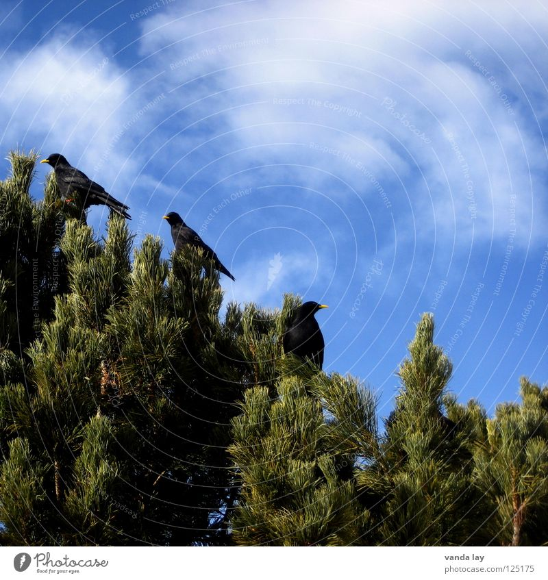 Pyrrhocorax graculus Jackdaw Bird Dolomites Tree Coniferous trees Clouds Sky Wood flour 3 Friendship Mountain scurrilous flock of birds Flock Pine Blue cloud