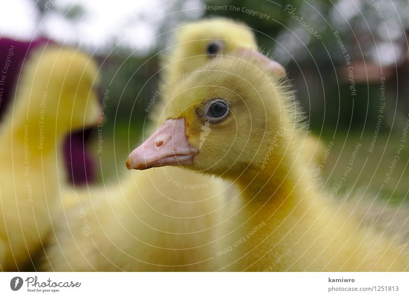 Yellow goose on the grass. Baby Friendship Group Nature Animal Grass Meadow Fur coat Pet Bird Small Funny Natural Cute Green Gosling geese Farm duck animals