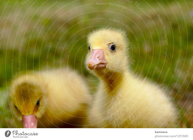 Yellow goose on the grass. Nature Green Animal Meadow Grass Natural Funny Small Group Bird Friendship Feather Baby Cute Farm