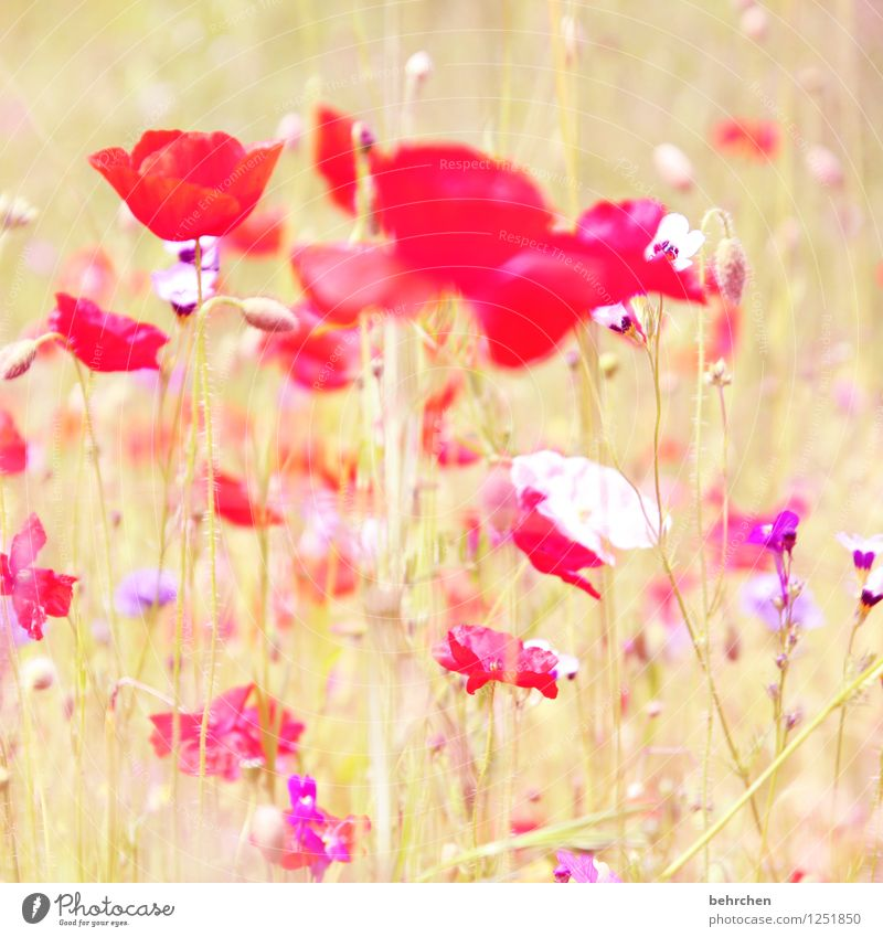 O Nature Plant Sun Spring Summer Autumn Flower Grass Leaf Blossom Wild plant Poppy Garden Park Meadow Field Blossoming Growth Beautiful Kitsch Violet Pink Red